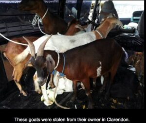 Meat for guns - Jamaican Cop says stolen animals shipped to Haiti 1