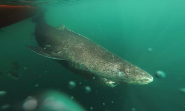 400 Year Old Shark Found in the Arctic Is World's Oldest Living Vertebrate 5