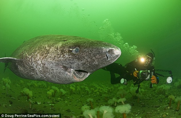 400 Year Old Shark Found in the Arctic Is World's Oldest Living Vertebrate 4