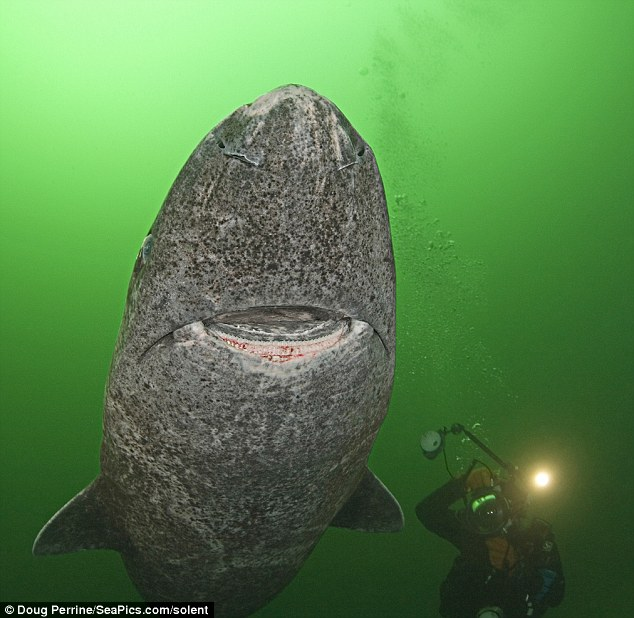 400 Year Old Shark Found in the Arctic Is World's Oldest Living Vertebrate 3