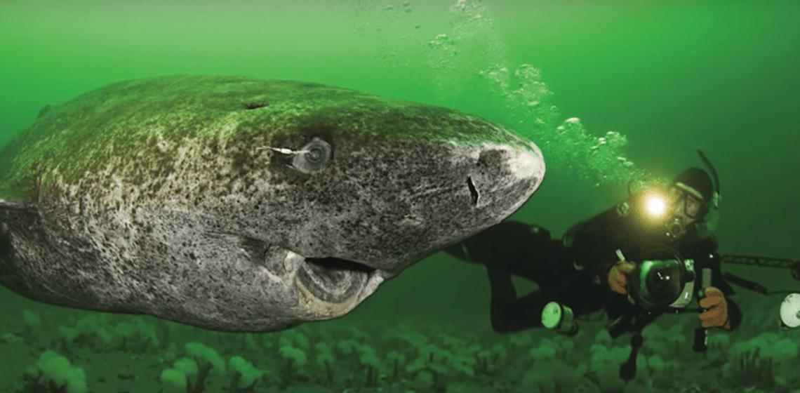 400 Year Old Shark Found in the Arctic Is World's Oldest Living Vertebrate 1